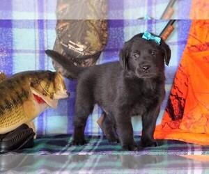 Golden Labrador Puppy for sale in FREDERICKSBG, OH, USA
