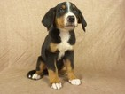 Bernese Mountain Dog-Greater Swiss Mountain Dog Mix Puppy For Sale in RIVERSIDE, IA, USA