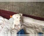 Italian Greyhound Puppies