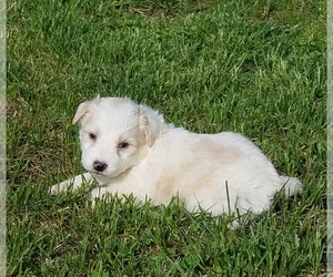 Aussiedoodle Puppy for Sale in ALLEGRE, Kentucky USA