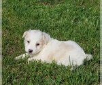 Aussiedoodle Puppy For Sale in ALLEGRE, KY, USA