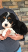 Miniature Bernedoodle Puppy For Sale in KILLBUCK, OH, USA