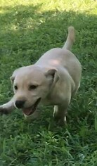 Labrador Retriever Puppy For Sale in DILLWYN, VA, USA