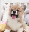 Pembroke Welsh Corgi Puppy For Sale in SAN JOSE, CA, USA