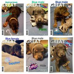 Doberman Pinscher Puppy For Sale in BOLIVAR, TN