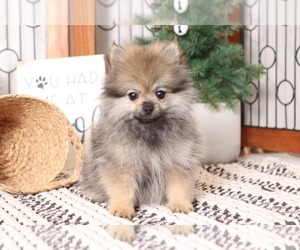 Pomeranian Puppy for sale in NAPLES, FL, USA