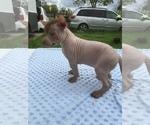 Small #5 Xoloitzcuintli (Mexican Hairless)