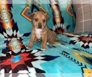 Medium Rottweiler-American Pit Bull Terrier