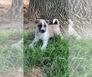 German Shepherd Dog-Siberian Husky Mix Puppy for Sale in FINKSBURG, Maryland USA