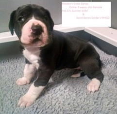 Great Dane Puppy For Sale in SHERIDAN, AR