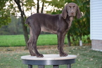 German Shorthaired Pointer Puppy For Sale in FREDERICKSBURG, OH, USA