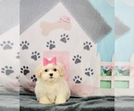 Puppy 11 Zuchon