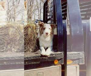 Border Collie Puppy for sale in SALEM, MO, USA