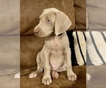 Puppy 10 Weimaraner