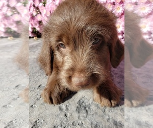 Miniature Labradoodle Puppy for Sale in GRABILL, Indiana USA