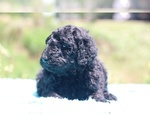 Small #24 Poodle (Standard)