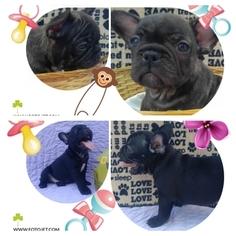 French Bulldog Puppy for sale in DEATSVILLE, AL, USA