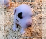 Puppy 0 Dogo Argentino