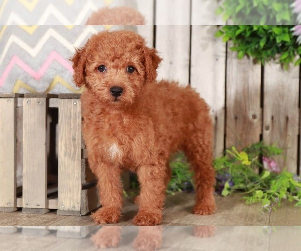 Medium Photo #2 Goldendoodle Puppy For Sale in MOUNT VERNON, OH, USA