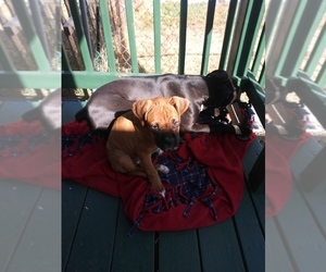 Boxer Puppy for Sale in CO SPGS, Colorado USA