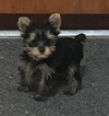 Yorkshire Terrier Puppy For Sale in OKLAHOMA CITY, OK, USA