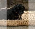 Puppy 4 Bernese Hound-Poodle (Miniature) Mix