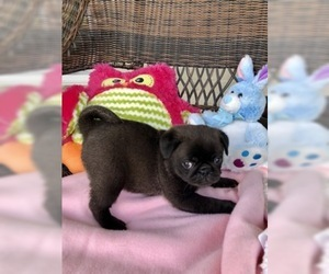 Pug Puppy for Sale in MOSELLE, Mississippi USA