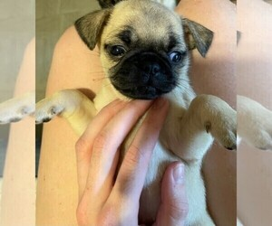 Pug Puppy for sale in BASTROP, TX, USA