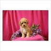 Poodle (Toy) Puppy For Sale near 85742, Tucson, AZ, USA