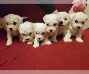 Bichon Frise Puppy for sale in TULSA, OK, USA