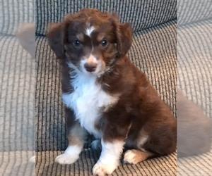 Australian Shepherd Puppy for sale in DREXEL, MO, USA
