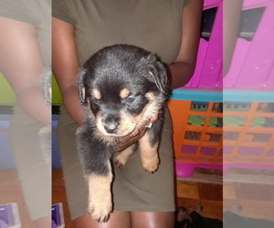 Rottweiler Puppy for sale in RALEIGH, NC, USA