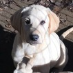 Labrador Retriever Puppy For Sale in BARNESVILLE, GA, USA