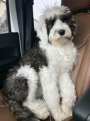 Sheepadoodle Puppy for Sale in LEPANTO, Arkansas USA