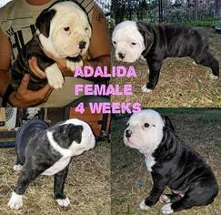 American Bulldog Puppy For Sale in FRUITVALE, TX, USA