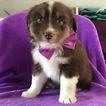 Australian Shepherd Puppy For Sale in EPHRATA, PA, USA