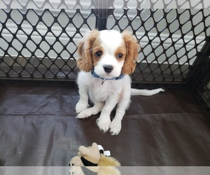 Cavalier King Charles Spaniel Puppy for Sale in FRISCO, Texas USA