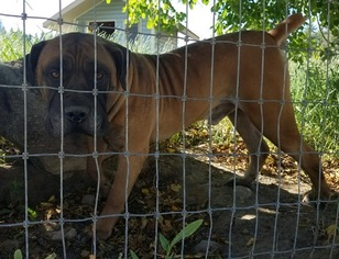 Boerboel Puppy for sale in SANDPOINT, ID, USA
