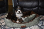 Australian Shepherd Puppy For Sale in GOWER, MO,