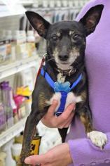 Ami - Chihuahua / Miniature Pinscher / Mixed (short coat) Dog For Adoption
