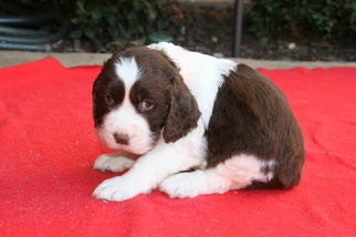 View Ad: English Springer Spaniel Litter of Puppies for Sale