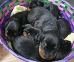 Puppy 1 Doberman Pinscher