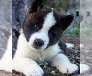 Akita Puppy for sale in ANN ARBOR, MI, USA