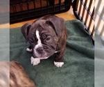 Small #7 Miniature Bulldog