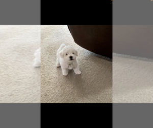 Bichon Frise Puppy for sale in SIMPSONVILLE, SC, USA
