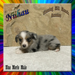 Niihau Toy Blue Merle Male Aussie