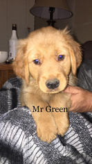 Golden Retriever Puppy For Sale in EL DORADO SPRINGS, MO, USA