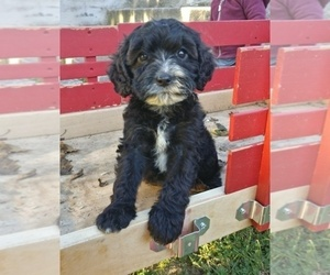 Cavapoo Puppy for sale in NORTHWOODS, IL, USA
