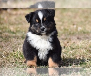 Australian Shepherd Puppy for sale in EASTON, MO, USA