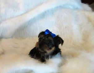 Yorkshire Terrier Puppies and Dogs for Sale in Cumming, GA, USA